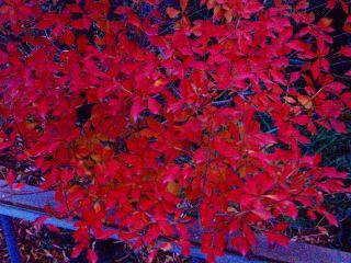 我が家の紅葉.jpg